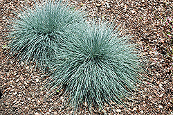 Beyond Blue™ Blue Fescue (Festuca glauca 'Casca11') at Ron Paul Garden Centre