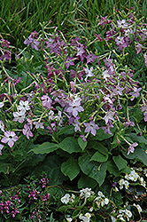 Perfume Purple Flowering Tobacco (Nicotiana 'Perfume Purple') at Ron Paul Garden Centre