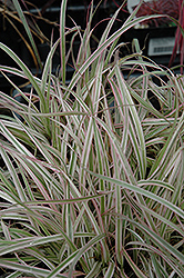 Cherry Sparkler Fountain Grass (Pennisetum 'Cherry Sparkler') at Ron Paul Garden Centre