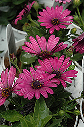 Soprano Purple African Daisy (Osteospermum 'Soprano Purple') at Ron Paul Garden Centre