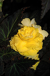 Nonstop® Mocca Yellow Begonia (Begonia 'Nonstop Mocca Yellow') at Ron Paul Garden Centre