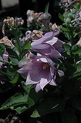 Astra Double Lavender Balloon Flower (Platycodon grandiflorus 'Astra Double Lavender') at Ron Paul Garden Centre
