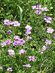 Rock Cress (Aubrieta columnae) at Ron Paul Garden Centre