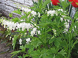 White Bleeding Heart (Dicentra spectabilis 'Alba') at Ron Paul Garden Centre