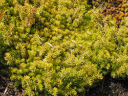 Angelina Stonecrop (Sedum rupestre 'Angelina') at Ron Paul Garden Centre