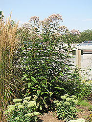 Joe Pye Weed (Eupatorium purpureum) at Ron Paul Garden Centre