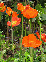 Iceland Poppy (Papaver nudicaule) at Ron Paul Garden Centre