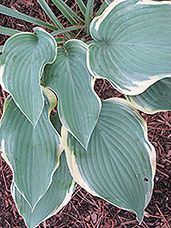 Regal Splendor Hosta (Hosta 'Regal Splendor') at Ron Paul Garden Centre