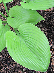 Sum and Substance Hosta (Hosta 'Sum and Substance') at Ron Paul Garden Centre