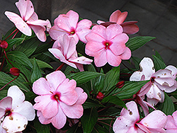 Infinity® Pink New Guinea Impatiens (Impatiens hawkeri 'Infinity Pink') at Ron Paul Garden Centre