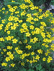 Lemon Gem Marigold (Tagetes tenuifolia 'Lemon Gem') at Ron Paul Garden Centre