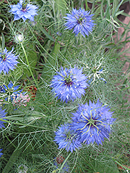 Love-In-A-Mist (Nigella sativa) at Ron Paul Garden Centre