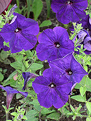 Madness Midnight Petunia (Petunia 'Madness Midnight') at Ron Paul Garden Centre