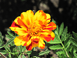 Safari Bolero Marigold (Tagetes patula 'Safari Bolero') at Ron Paul Garden Centre