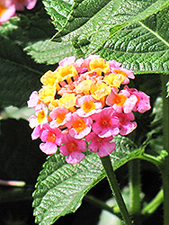 Lantana (Lantana camara) at Ron Paul Garden Centre