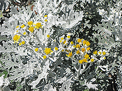 Silver Dust Dusty Miller (Senecio cineraria 'Silver Dust') at Ron Paul Garden Centre