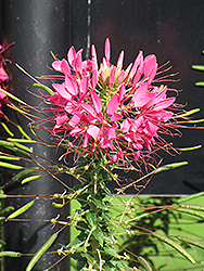 Rose Queen Spiderflower (Cleome hassleriana 'Rose Queen') at Ron Paul Garden Centre