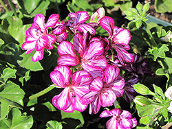 Contessa™ Burgundy Bicolor Ivy Leaf Geranium (Pelargonium peltatum 'Contessa Burgundy Bicolor') at Ron Paul Garden Centre
