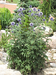 Veitch's Blue Globe Thistle (Echinops ritro 'Veitch's Blue') at Ron Paul Garden Centre
