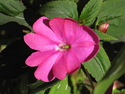 Infinity® Blushing Lilac New Guinea Impatiens (Impatiens hawkeri 'Visinfblla') at Ron Paul Garden Centre