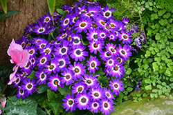 Senetti® Blue Bicolor Pericallis (Pericallis 'Senetti Blue Bicolor') at Ron Paul Garden Centre