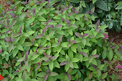 Double Play® Red Spirea (Spiraea japonica 'SMNSJMFR') at Ron Paul Garden Centre