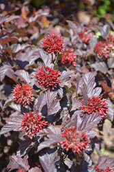 Ginger Wine™ Ninebark (Physocarpus opulifolius 'SMNPOBLR') at Ron Paul Garden Centre