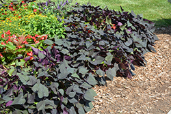 Black Heart Sweet Potato Vine (Ipomoea batatas 'Black Heart') at Ron Paul Garden Centre