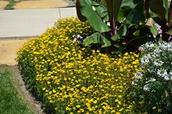 Goldilocks Rocks Bidens (Bidens ferulifolia 'Goldilocks Rocks') at Ron Paul Garden Centre