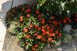 SunPatiens® Compact Orange New Guinea Impatiens (Impatiens 'SunPatiens Compact Orange') at Ron Paul Garden Centre
