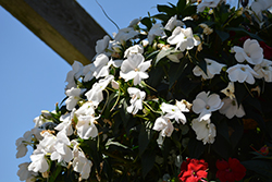 Infinity® White New Guinea Impatiens (Impatiens hawkeri 'Visinfwhiimp') at Ron Paul Garden Centre