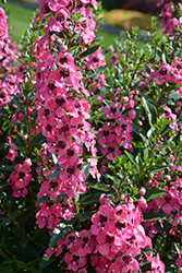 Angelface® Perfectly Pink Angelonia (Angelonia angustifolia 'Balang15434') at Ron Paul Garden Centre