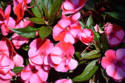 Infinity® Blushing Crimson New Guinea Impatiens (Impatiens hawkeri 'Kiamuna') at Ron Paul Garden Centre