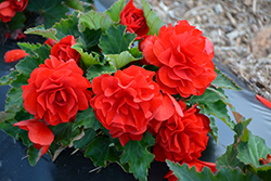 Nonstop® Red Begonia (Begonia 'Nonstop Red') at Ron Paul Garden Centre