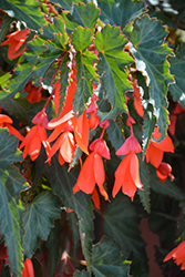 Summerwings® Orange Begonia (Begonia 'Summerwings Orange') at Ron Paul Garden Centre