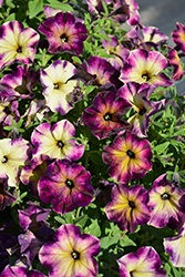 Crazytunia® Moonstruck Petunia (Petunia 'Crazytunia Moonstruck') at Ron Paul Garden Centre