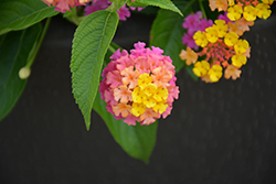 Luscious® Berry Blend™ Lantana (Lantana camara 'Luscious Berry Blend') at Ron Paul Garden Centre
