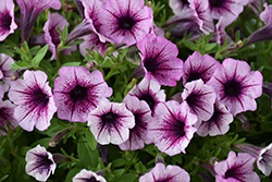 Supertunia® Mulberry Charm Petunia (Petunia 'Supertunia Mulberry Charm') at Ron Paul Garden Centre