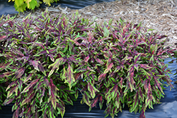 FlameThrower Chili Pepper Coleus (Solenostemon scutellarioides 'Chili Pepper') at Ron Paul Garden Centre