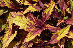 FlameThrower Spiced Curry Coleus (Solenostemon scutellarioides 'Spiced Curry') at Ron Paul Garden Centre