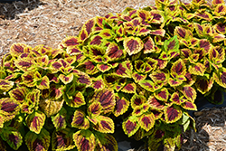 Stained Glassworks Raspberry Tart Coleus (Solenostemon scutellarioides 'Raspberry Tart') at Ron Paul Garden Centre