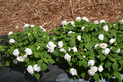 Rockapulco® White Impatiens (Impatiens 'Balfiewite') at Ron Paul Garden Centre