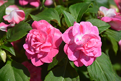 Rockapulco® Rose Impatiens (Impatiens 'BALOLESTOP') at Ron Paul Garden Centre
