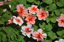 Super Elfin® XP Salmon Splash Impatiens (Impatiens walleriana 'Super Elfin XP Salmon Splash') at Ron Paul Garden Centre