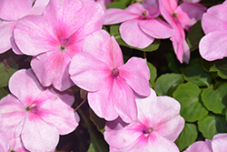 Super Elfin® XP Lilac Impatiens (Impatiens walleriana 'Super Elfin XP Lilac') at Ron Paul Garden Centre