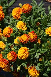 Hot Pak™ Spry Marigold (Tagetes patula 'PAS1077393') at Ron Paul Garden Centre