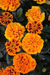 Hot Pak™ Flame Marigold (Tagetes patula 'PAS1077381') at Ron Paul Garden Centre
