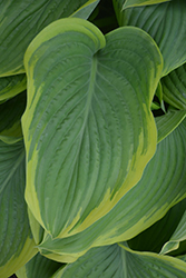 Victory Hosta (Hosta 'Victory') at Ron Paul Garden Centre