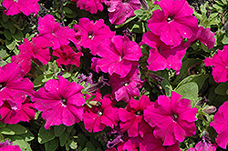 Pretty Grand Purple Petunia (Petunia 'Pretty Grand Purple') at Ron Paul Garden Centre