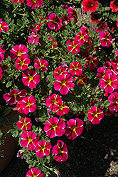 Superbells® Cherry Star Calibrachoa (Calibrachoa 'Superbells Cherry Star') at Ron Paul Garden Centre